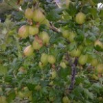 Our gooseberries